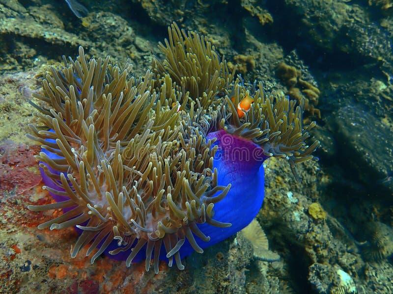 Clownfisk eller anemonfisken Skönheten av undervattens- världsdykning i Sabah, Borneo arkivfoto