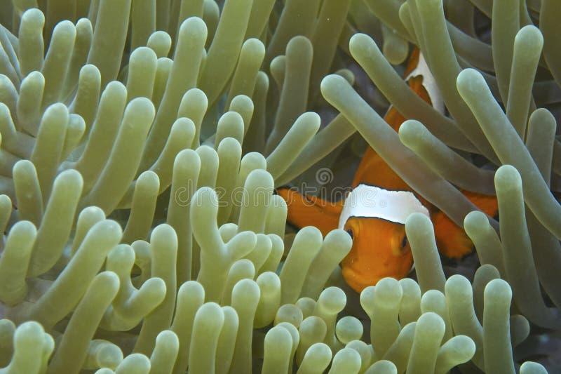 Clownfisk i gräsplan- och blåtthavsanemon royaltyfria foton