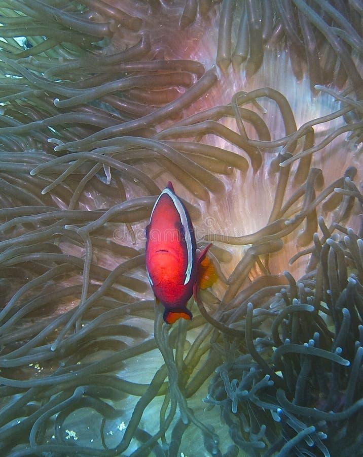 Clownfisk som försvarar hans torva royaltyfria bilder