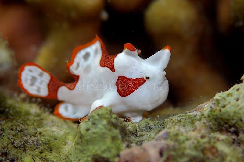 clownfrogfish royaltyfri foto