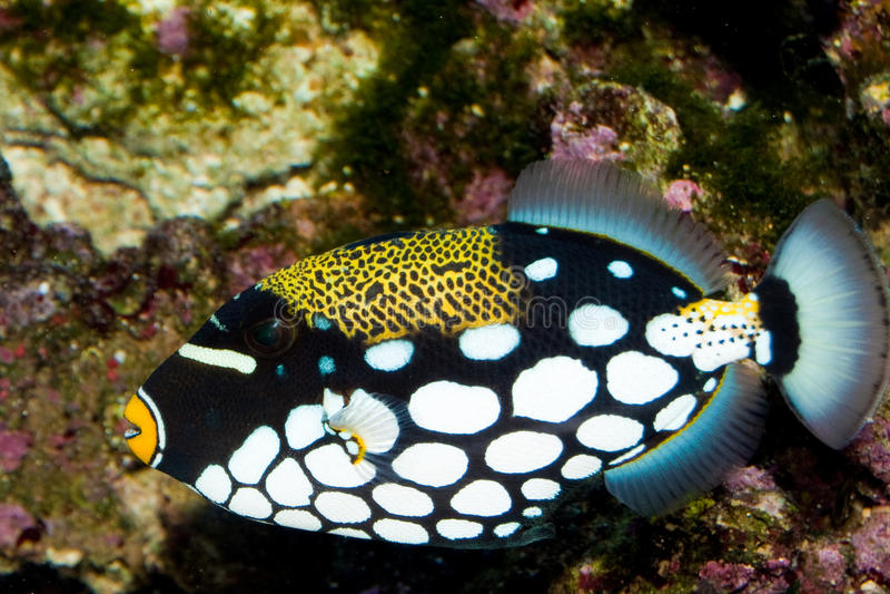 ClownTriggerfish i akvarium arkivfoton