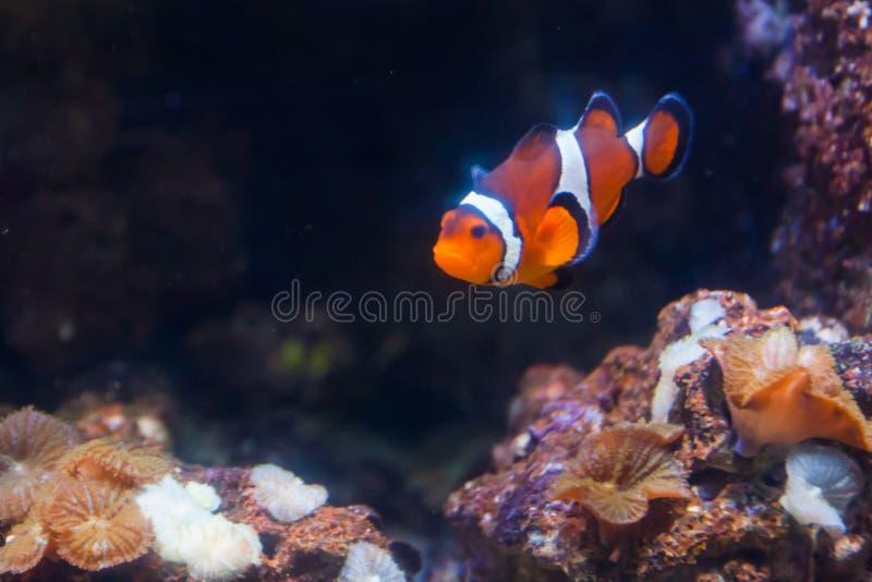 Clownvissen of anemoon Prachtige en mooie onderwaterwereld met koralen en tropische vissen royalty-vrije stock fotografie