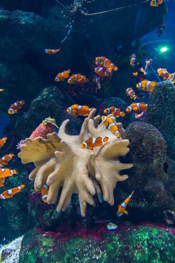 Download Clownvissen in aquarium stock foto. Afbeelding bestaande uit vissen - 39107454