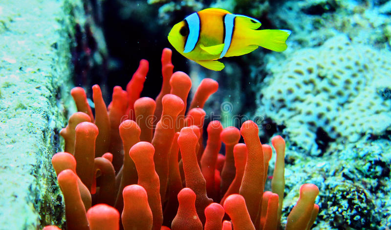 Clownvissen in Rode overzees royalty-vrije stock foto
