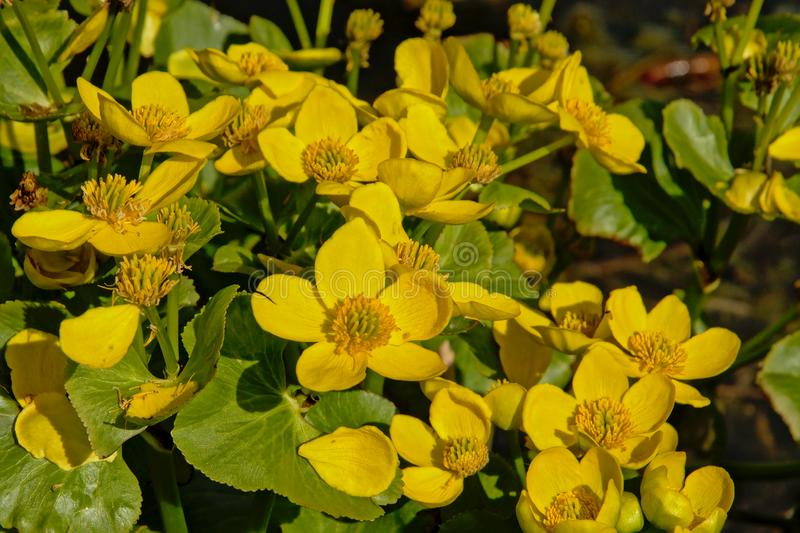 Bright yellow marsh-marigold or kingcup flowers, close up royalty free stock photo