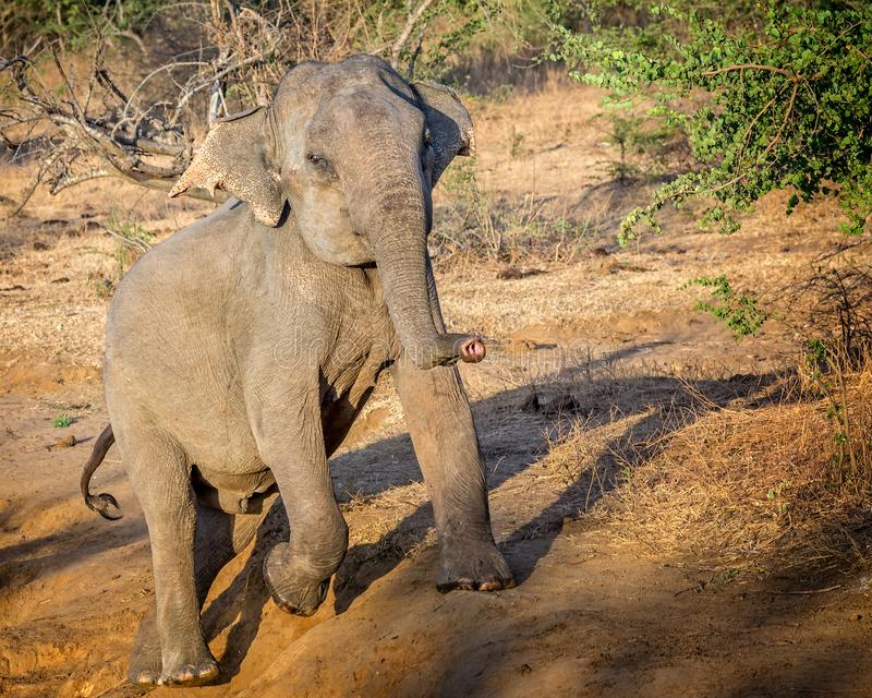 Clsoe up of large wild Indian elephant climbing out of ditch stock images