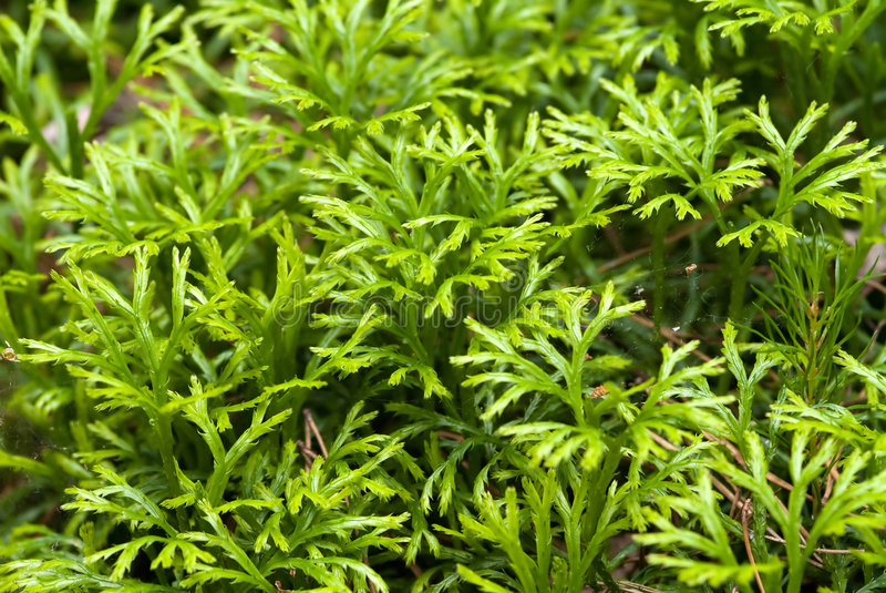 Download Club moss stock image. Image of backgrounds, lichen, image - 7516095
