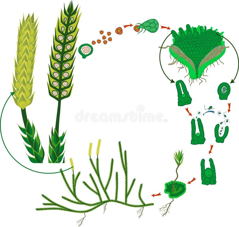 Clubmoss life cycle. Diagram of a life cycle of Lycopodium clavatum or Running clubmoss royalty free illustration