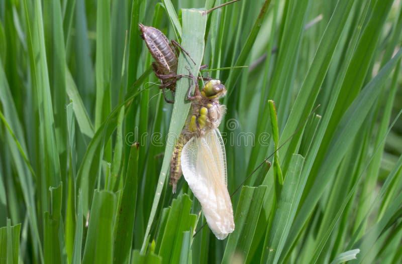 Clubtail común que emerge de su larva fotografía de archivo libre de regalías