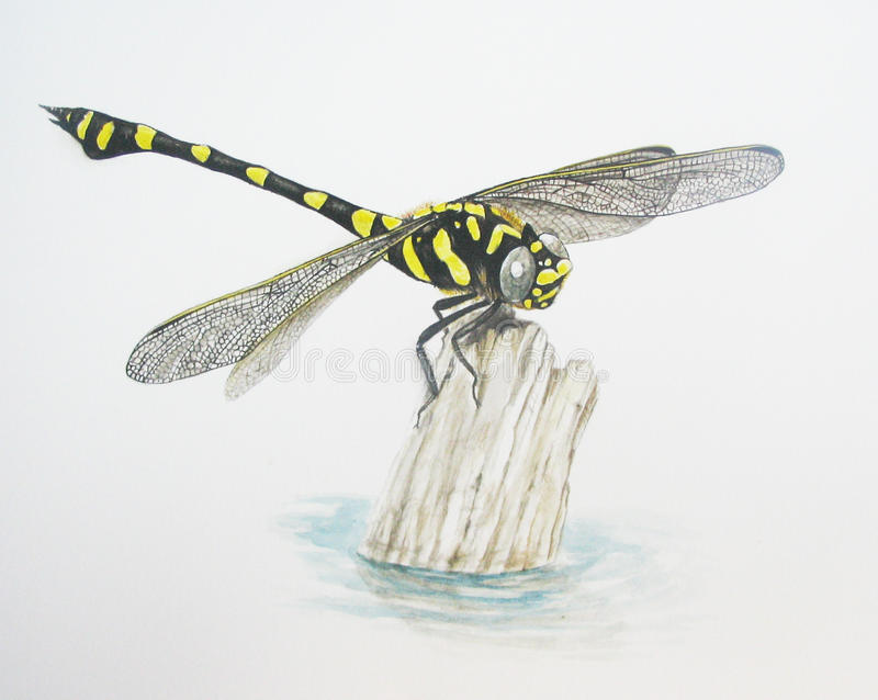 Clubtail commun image stock