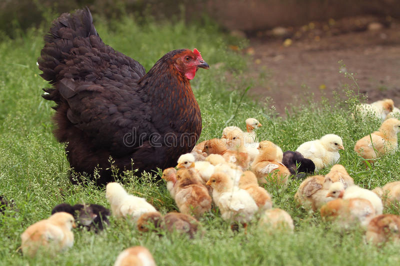 Clucking hen and chicks stock photography