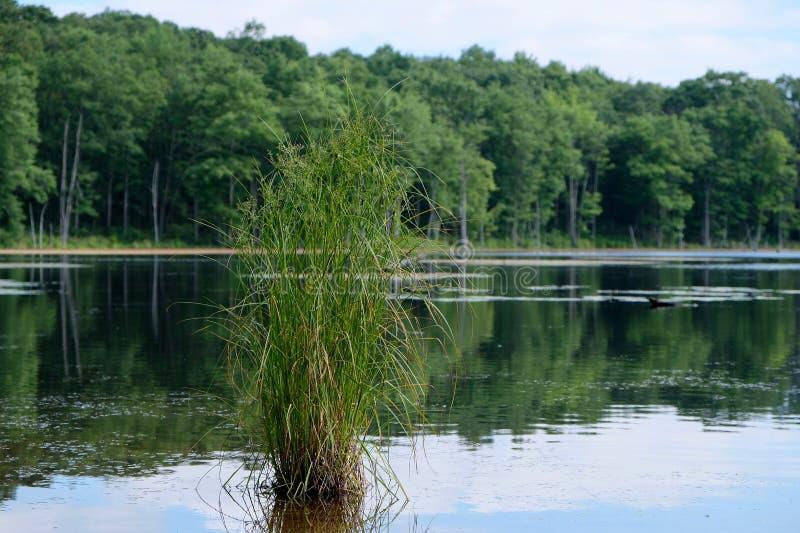 Clumb d'herbe s'élevant dans le lac photo libre de droits