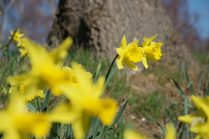 A clump of bright yellow daffodils on green stems in vivid sunlight. Sharp focus, blurred daffodils and tree. Several stems of daffodil flowers on a grassy bank stock photo
