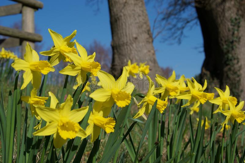 A clump of bright yellow daffodils on green stems in vivid sunlight; trees in background stock photo