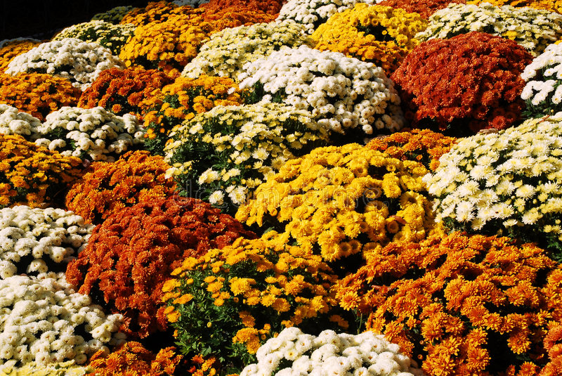 Clump of chrysanthemums stock images