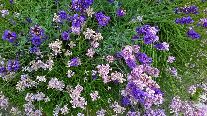 Clump of Lavender in Garden royalty free stock photography