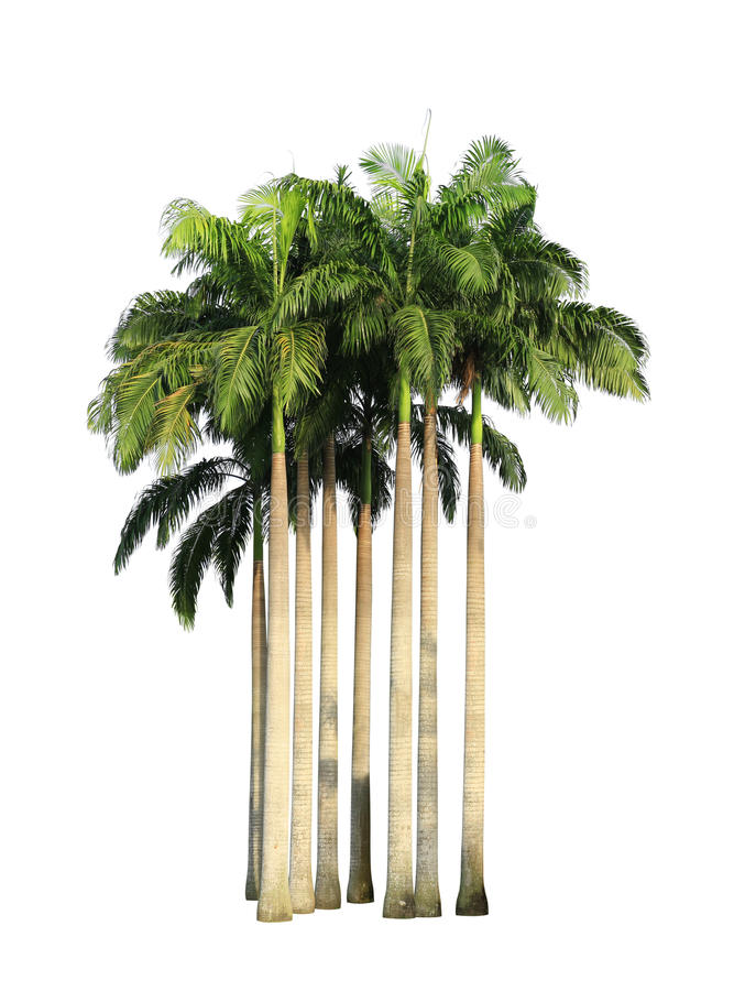 Download Clump of palm trees stock image. Image of white, high - 31019597