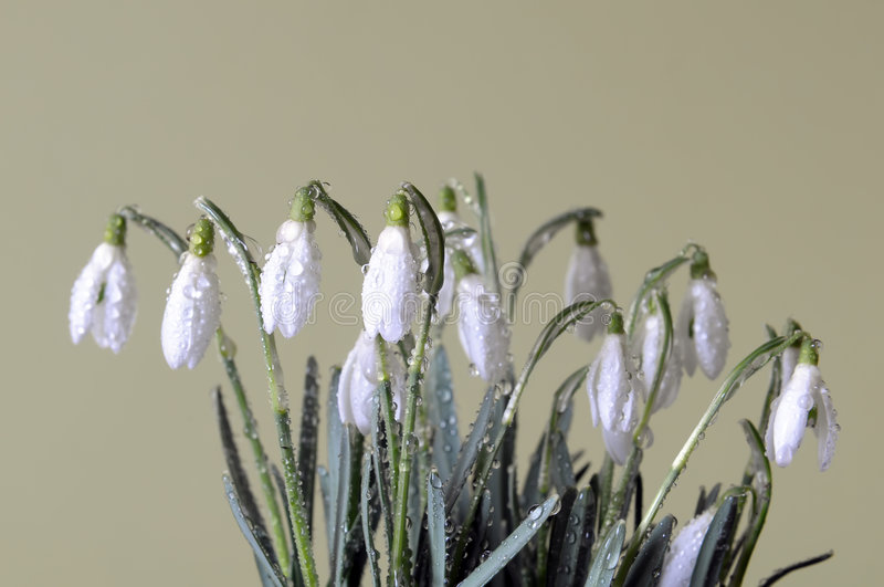 Clump of the snowdrops