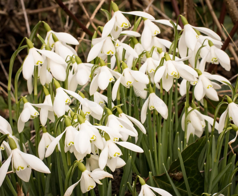 Clump of Snowdrops stock images