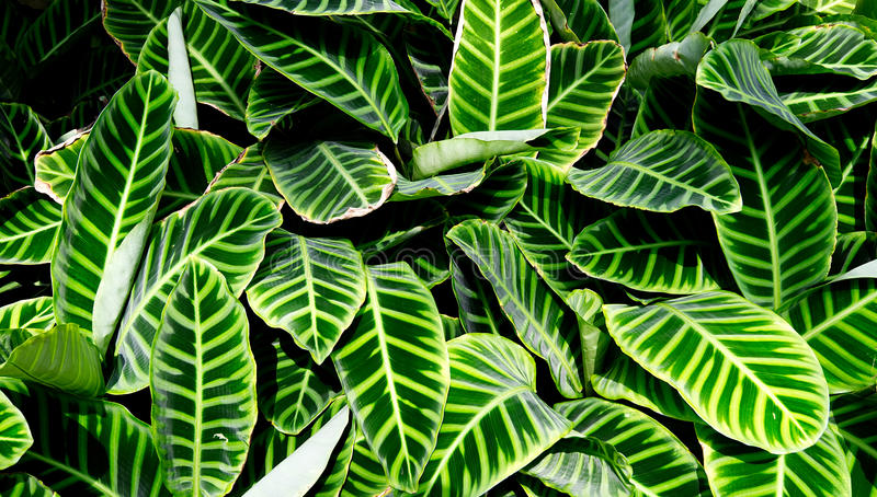 A clump of tropical Zebra plants at Wisley. Surrey stock photos