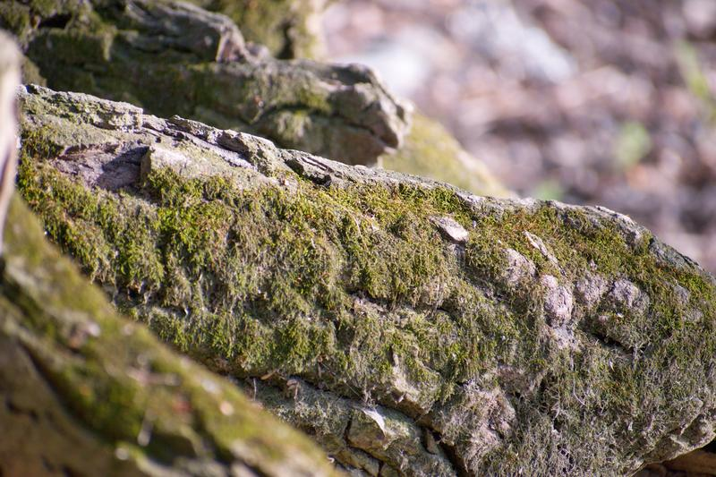 Clumps of moss. On the ground and base of trees. Location: River Váh royalty free stock images