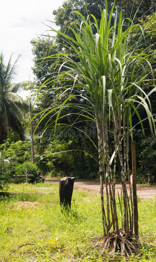 Sugar cane. Clumps of sugar cane growing in the warm sunshine in the rainy season stock photos