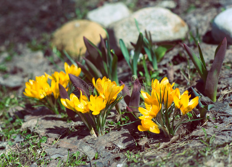 Clumps of yellow crocuses among the stones stock image