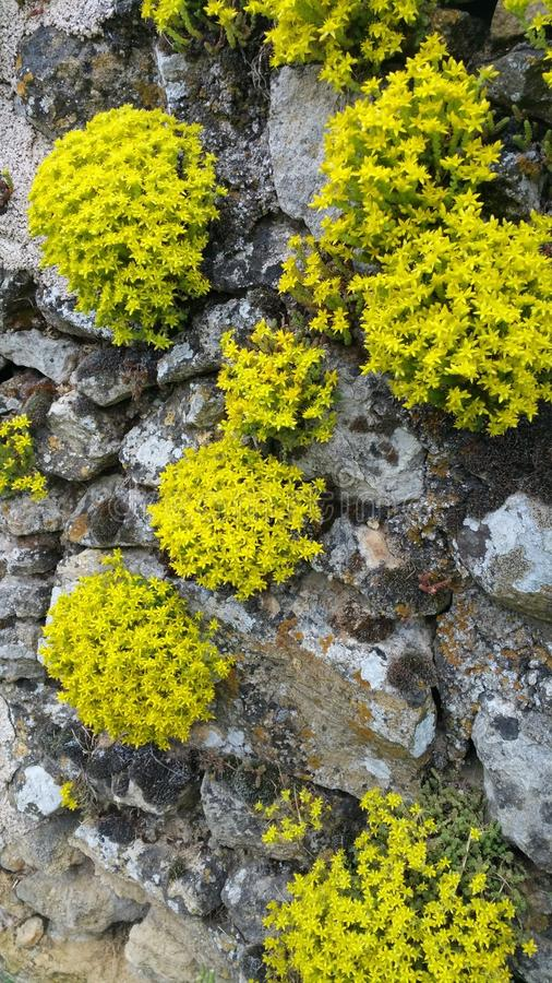 Clumps of yellow rockery plants on old stone wall royalty free stock photos