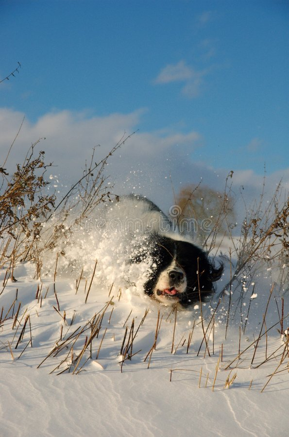 Clumsy dog and the snow royalty free stock image