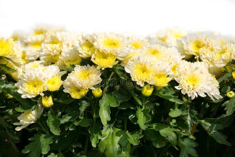 Cluse вверх по мягкому желтому заводу цветка хризантемы стоковое изображение