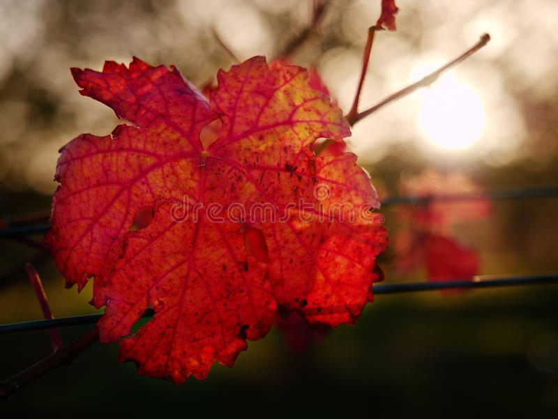 Cluse up view at carst vineyard in autumn colors at sunset. Dark red orange shadows of leaves royalty free stock photos