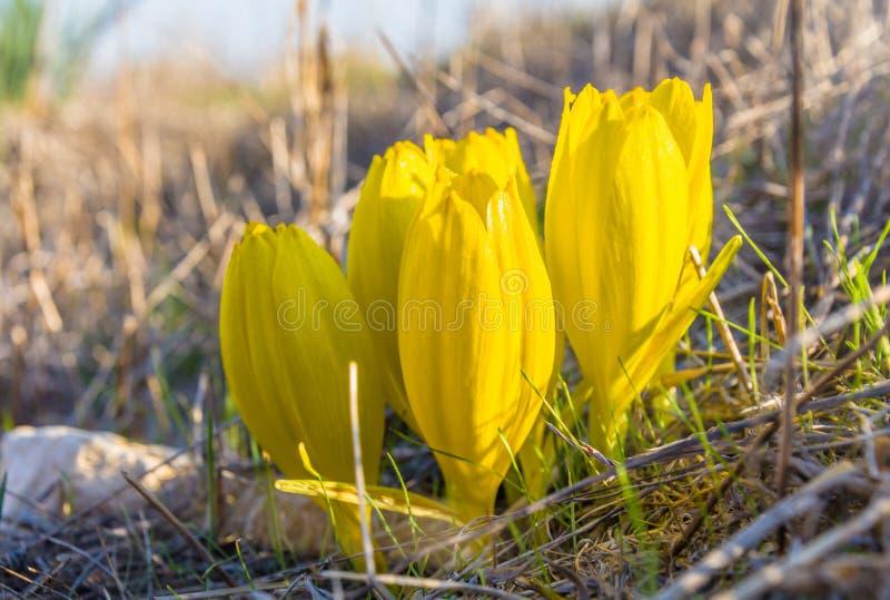 Clusiana de Sternbergia, fleur sauvage en pleine fleur d'automne image stock