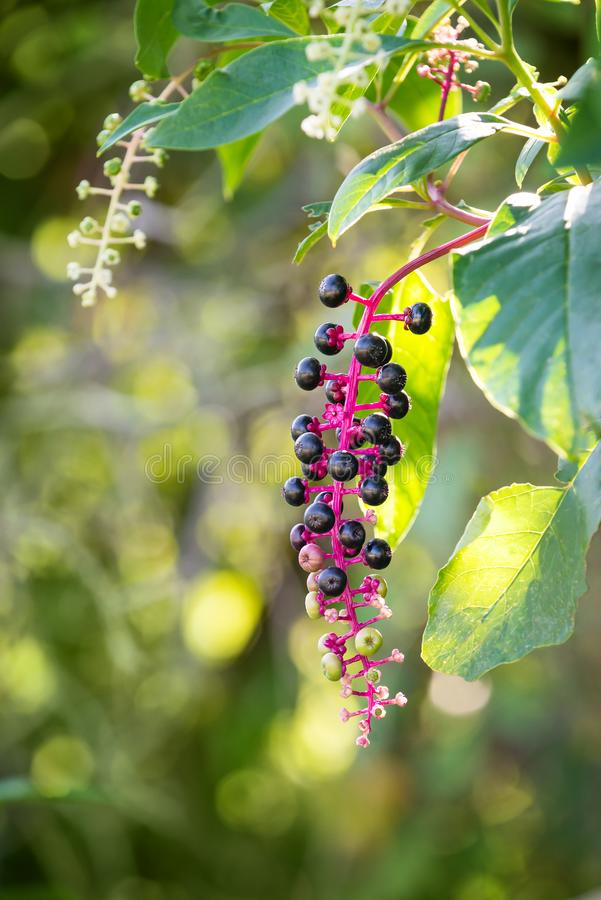 American Pokeweed Phytolacca americana royalty free stock photography