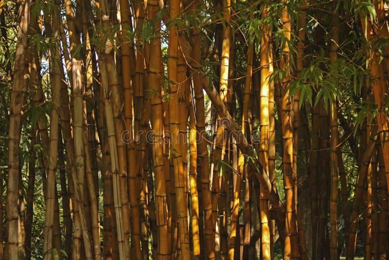 Thin Bamboo Plants Stock Image Image Of Plant Leaf