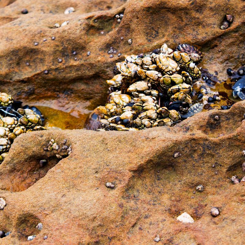 Claw like shells attached to rock formation during low tide at the tide pool royalty free stock photo