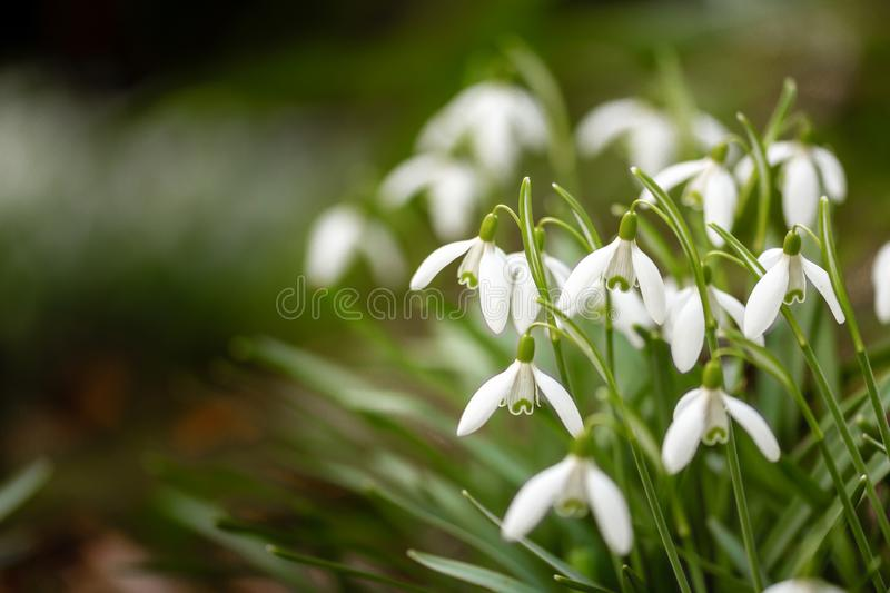 Cluster of beautiful fragile wild snowdrops, with blurred background, and space for copy stock photography