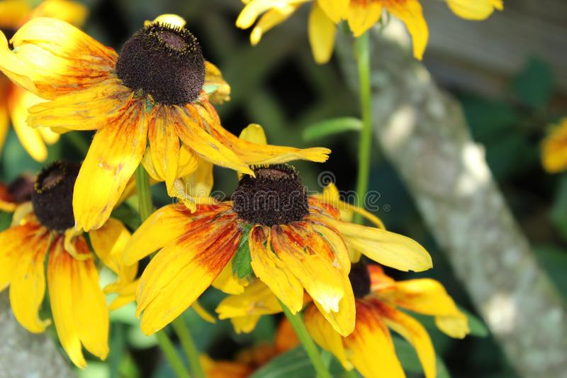 Cluster of Black Eyed Susan flowers stock images