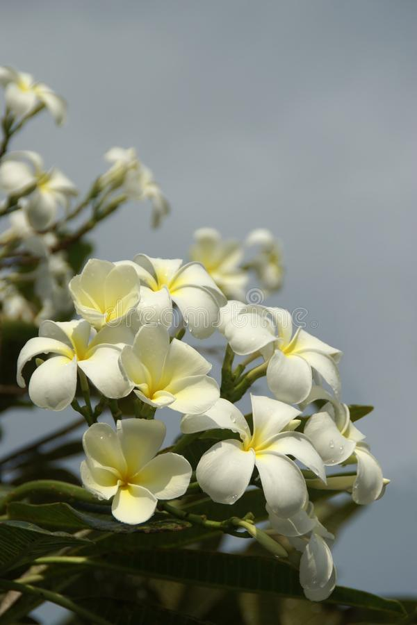 Cluster of White Plumeria Flowers with Rain Drops on Blue Sky Background. Cluster of Blooming White Plumeria Flowers with Rain Drops on Blue Sky Background royalty free stock photos