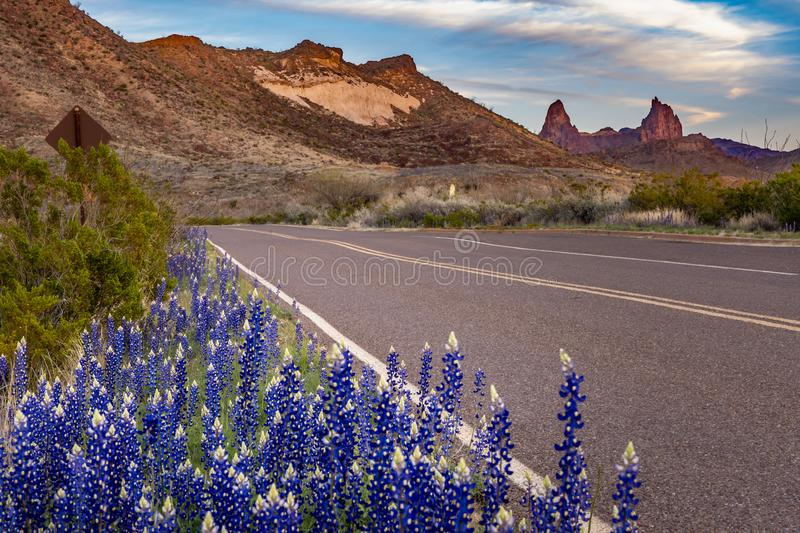 Cluster of blue bonnets along the scenic drive. With mule ears capturing the sunset in the background royalty free stock image