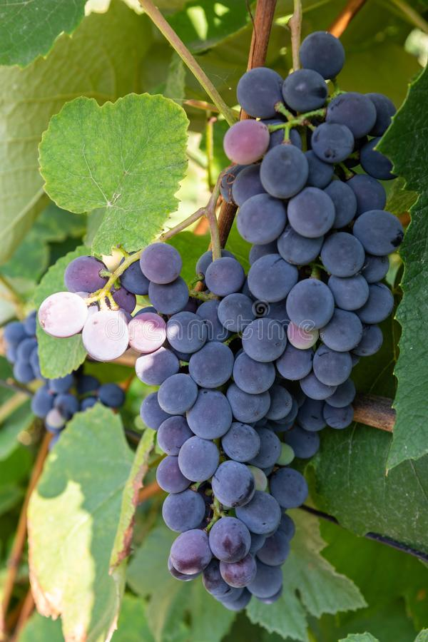 Cluster of blue grape on the vine stock photo
