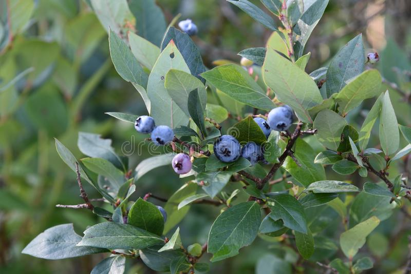 Cluster of blueberries ripening on the bush. Blueberry bush in a garden with blueberries ripening on the bush stock photos
