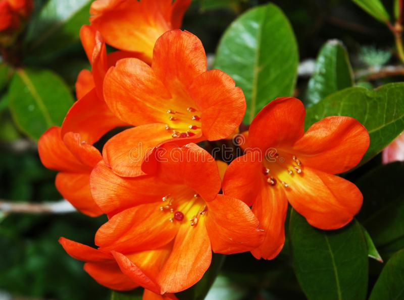 A cluster of bright orange flowers streaked with yellow. stock photos