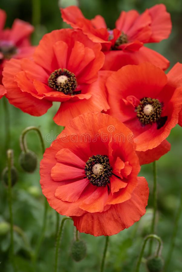 Cluster of bright red poppies. With yellow and purple centers stock images