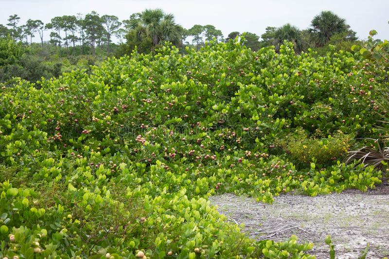 Cluster of Cocoplum in Florida. A cluster of Cocoplum (Chrysobalanus icaco) plants in Florida royalty free stock images