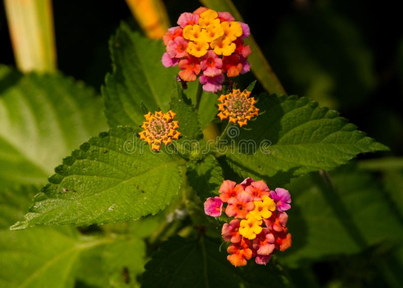 Cluster of colorful Lantana flowers. royalty free stock photos