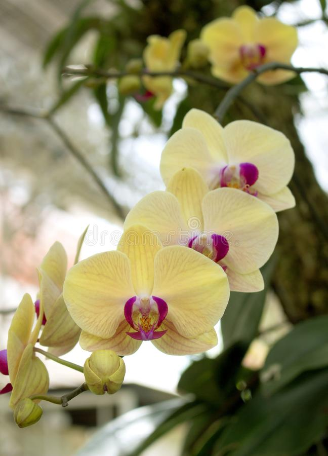 Cluster of exotic yellow orchids with pink centers. Background royalty free stock photos