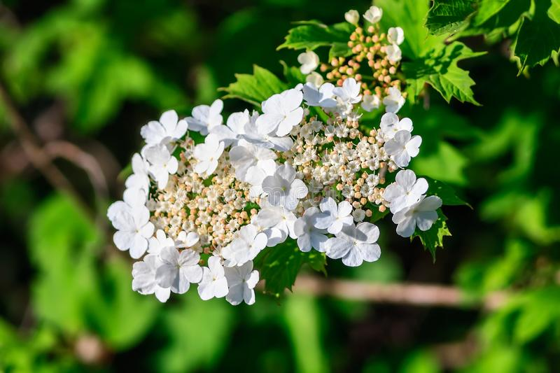 Cluster of fragile white blooming blackberry bush flowers on beautiful green background stock photo