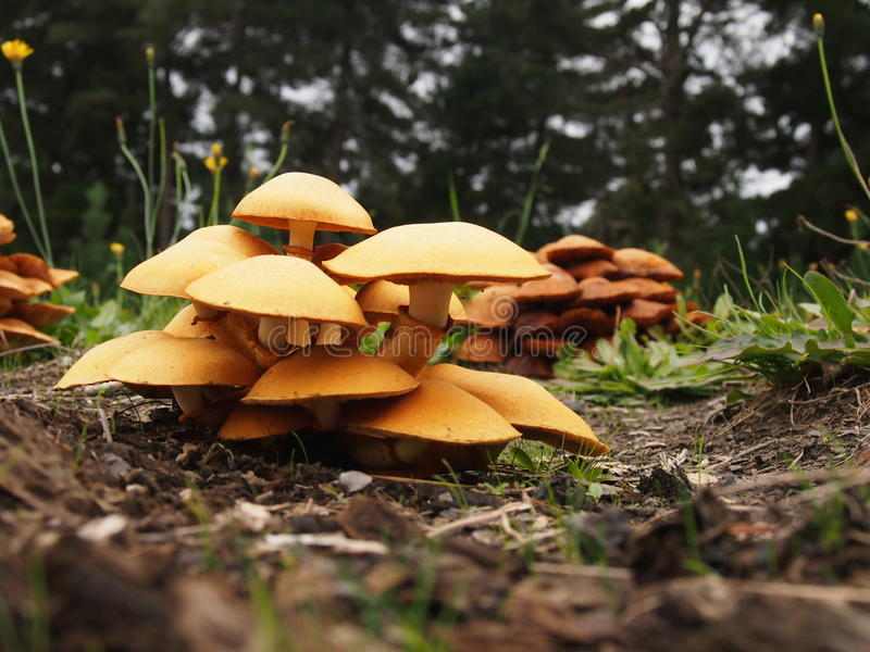 Cluster of Giant Flame Cap Mushrooms. Giant Flame Cap Mushrooms Gymnopilus junonius a common poisonous mushroom orange colour found at the base of trees stock photography