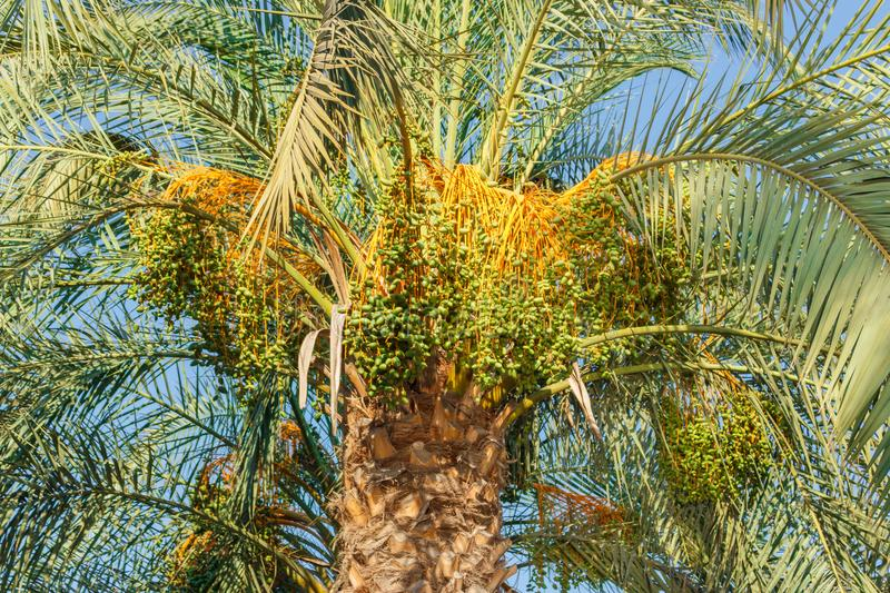 Cluster of green dates hanging from a date palm slowly ripening stock photos