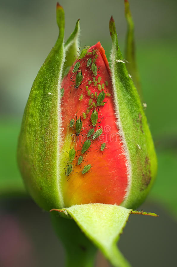 Cluster of greenfly on a rose bud. A rosebud infested with aphids. There are multiple generations of the insect on the flower which indicates the rate at which stock photos